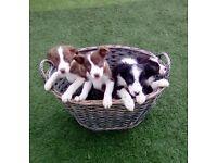 Boarder collie puppy's