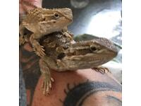 Rankins dragons for sale 50.00