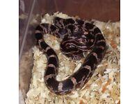Masque Corn Snake