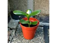 Baby Jade tree, money plant