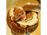 Pinstripe Royal Python Morph