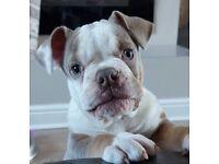 Lilac tri Olde time bulldog girl