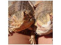 2 bearded dragons + viv
