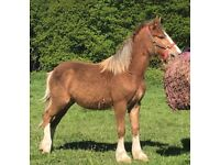 6 month old welsh section D filly