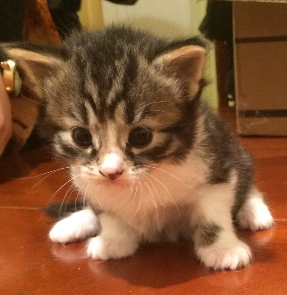 Cute Tabby Kittens Reduced Price in Tottenham London