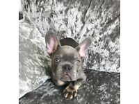 Gorgeous French bulldogs for sale