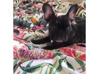 Black boy French bulldog 14 weeks old