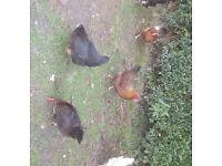Brown Sussex Hens POL