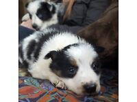 Litter of collie pups ready now
