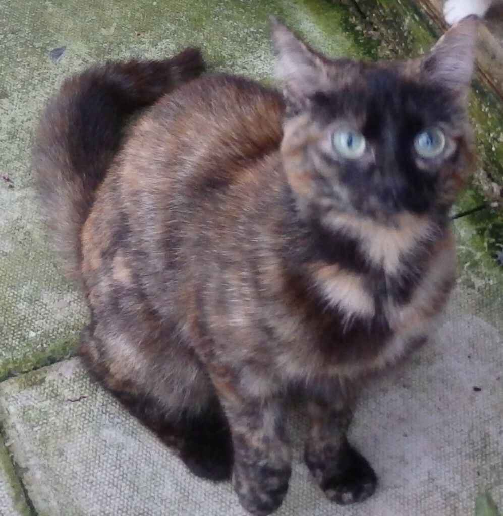 Lotus , female tortoiseshell cat needs a good home