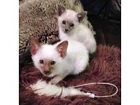 Siamese Kittens Excellent Pedigree GCCF registered Active 1 Boy 1 Girl £650