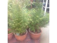 2x conifer plants bare rooted