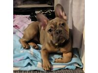 Female French Bulldog 9 Months old Blue Fawn Sable with Tan Points
