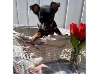 Miniature Pinscher x Chihuahua Bitch Puppy