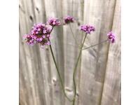 Verbena Bonariensis Perennial Flowering Plants