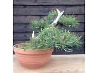 SALE Quality Kifu Size Mugo Pine Bonsai