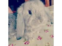 Giant French Lop baby rabbits for sale.