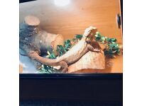 Male bearded dragon full set up