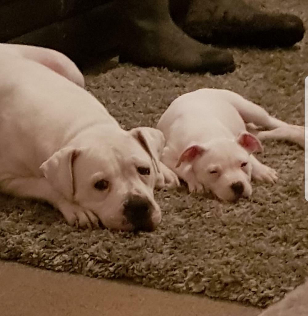 American Bulldog Puppy Looking For New Forever Home !