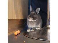 Netherland dwarf rabbit and homemade indoor hutch