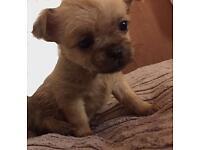 Chi shi puppy's