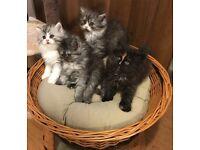 Persian Longhair Kitten