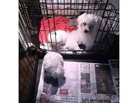 Maltese puppies kc