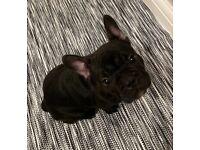 1 beautiful 🤩 French Bulldog puppy left!
