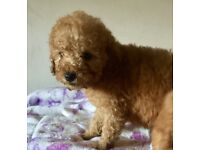 Miniature red male poodle pup ready now