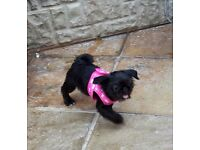 Pug x shih tzu Shug puppy female