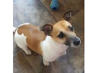 3yr old female jack russell