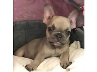 Stunning Lilac Male French bulldog puppy