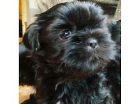 Pure bred Shih Tzu puppies
