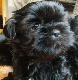 Stunning Shih tzu puppies ready from 22nd Sept . Micro chipped Girls £550. Boys £500