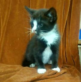 Black and white fluffy male kitten