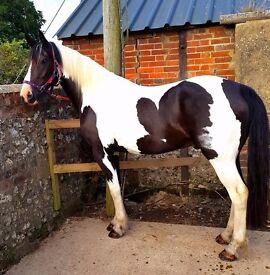 Sweet natured coloured gelding