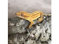 Various Crested Geckos available