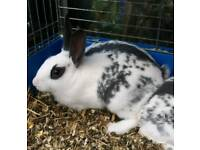 Baby Butterly English Rabbits