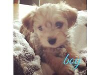 Morkie x schnoodle puppies 100% non moulting
