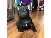 KC french bulldog puppies (blue and chocolate carriers)