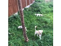 Bichon bolognese puppies 6 months old