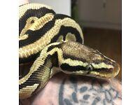 Adult male pastel royal python