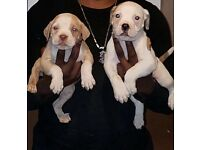 Alapaha Bulldog Cross Puppies (SERIOUS ENQUIRIES ONLY)