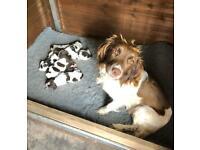 K.C. Registered English Springer Spaniel Puppies