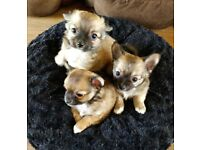 BEAUTIFUL LONG COATED CHIHUAHUA PUPPIES