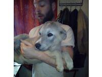 Alaskan Malamute X Caucasian Shepherd puppies