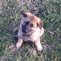 German Shepherd x Norwegian Elkhound puppies