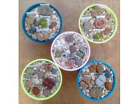 Lithops (Living Stones or Pebble Plants)