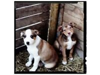 Beautiful Red border collie puppies for sale