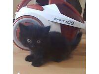 Stunning Black Kittens
